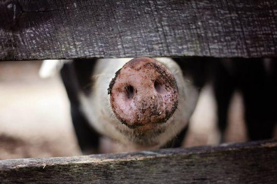 """Hubertus Heil will mit Hilfe des Arbeitsschutzkontrollgesetzes in der Fleischindustrie """"aufräumen""""."""